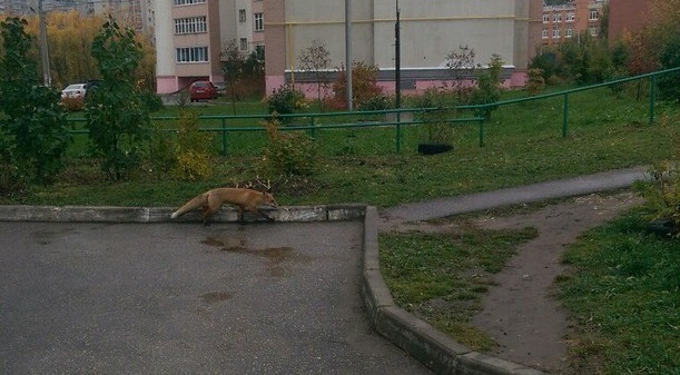 Фото-факт: Лиса гуляет во дворе жилого дома в Дашково-Песочне