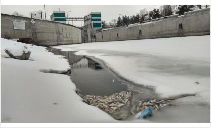 Жители Советского района будут ведрами вычерпывать задыхающуюся в шлюзе рыбу